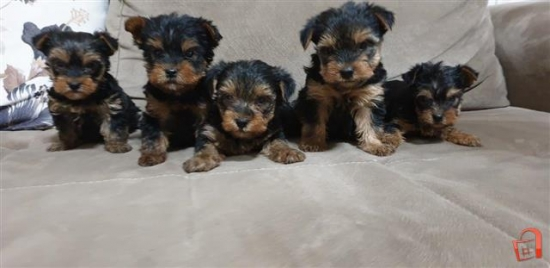 yorkie puppies for adoption and rehoming