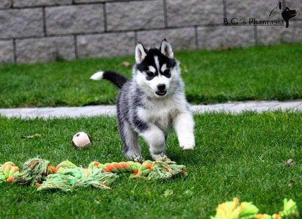 Utah Siberian Husky puppies 5014929878 : Pets and Animals in