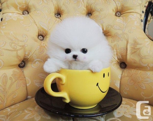 Adorable Princess, Ice White Pomeranian Available
