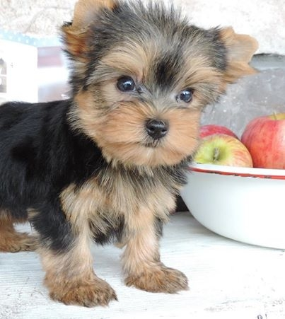 Washington Cute Yorkie Puppies Available For Adoption Pets And