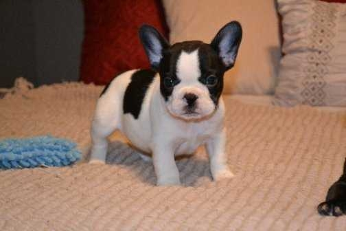 French bulldog puppy available for (570) 392-3591