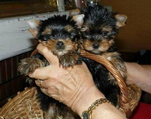 South Dakota Vaccinated Male and Female Yorkie Puppies For Sale