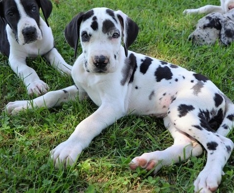 Cute healthy family raised Great Dane puppies