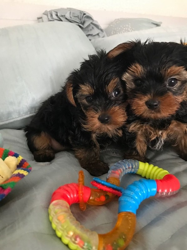 Xmas Female/Male Yorkie puppy for adoption