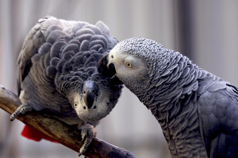 DNRH Some Talking African gray parrots for saleDNR