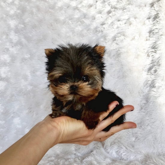 Teacup Yorkie puppies for adoption,