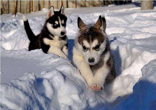 Outstanding Siberian Husky Puppies For Sale