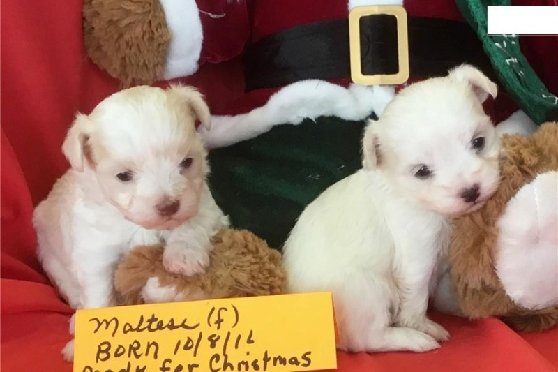Lovely Male And Female Maltese Puppies For Sale