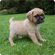 Clean Charming Male and Female Pug Puppies