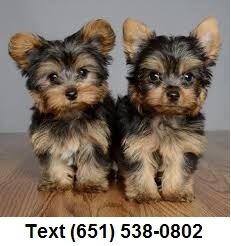 Exceptional tiny t-cup Yorkshire Terrier puppies