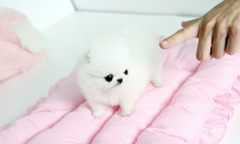 Male and Female Pomeranianss Puppies Available for