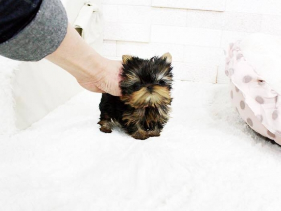 L,ovely Teacup Yorkie puppies, male and female.