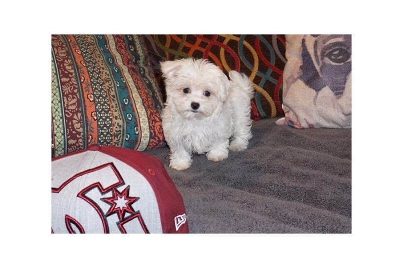Adorable Maltese puppies now available.