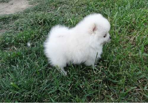 Indiana TEA CUP POMERANIAN PUPPIES FOR SALE : Pets and